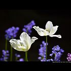 Tulipa Purissima - White Tulips At Full Bloom - Upper Brookville, New York by © Sophie W. Smith