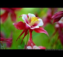 Aquilegia - Columbine Origami Red And White - Upper Brookville, New York by © Sophie W. Smith