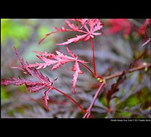 Acer Palmatum Garnet - Japanese Maple - Middle Island, New York by © Sophie W. Smith