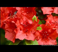 Rhododendron Griersonianum - Upper Brookville, New York  by © Sophie Smith
