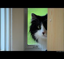 Felis Catus - Maine Coon Cat Hiding From Vacuum Sound  by © Sophie Smith