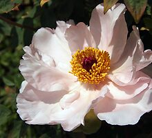 Wide Open Peony by Linda  Makiej