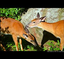 Odocoileus Virginianus - North American White-Tailed Deers - Middle Island, New York by © Sophie W. Smith