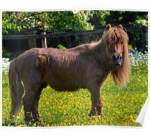 Todd Shetland Pony Poster