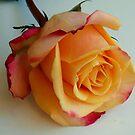 1589-beauty rose by elvira1