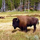 ~ The Great American Yellowstone Buffalo ~ by Brion Marcum