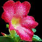 1597-*red adenium by elvira1