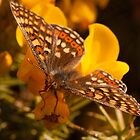 Marsh Fritillary by Jon Lees