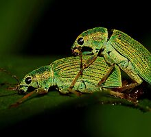 Pale Green Weevils mating by Kane Slater