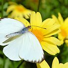 The Cabbage White Butterfly by Dawne Dunton