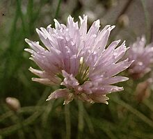 chives by vigor