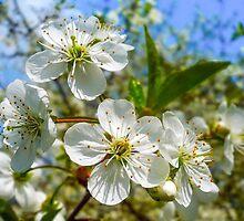 White Blossom by EvaMarIza