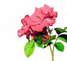 roses with white background by dedakota