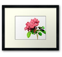 roses with white background Framed Print