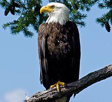 Majestic Bald Eagle by naturediver