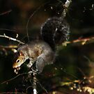 Squirrel by Ginger  Barritt