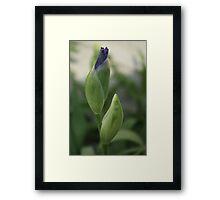 Iris buds Framed Print