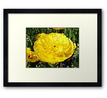 Beautiful yellow tulip Framed Print