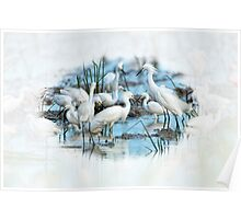 Snowy Egrets in Rice Field Poster