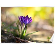 Crocus growing in a crack in the path Poster