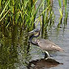 Tri-Colored Heron by imagetj