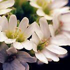 Wildflowers 1 - Hoary Alyssum by photonista
