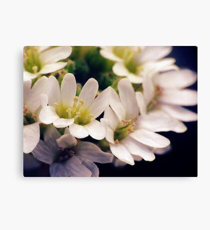 Wildflowers 1 - Hoary Alyssum Canvas Print