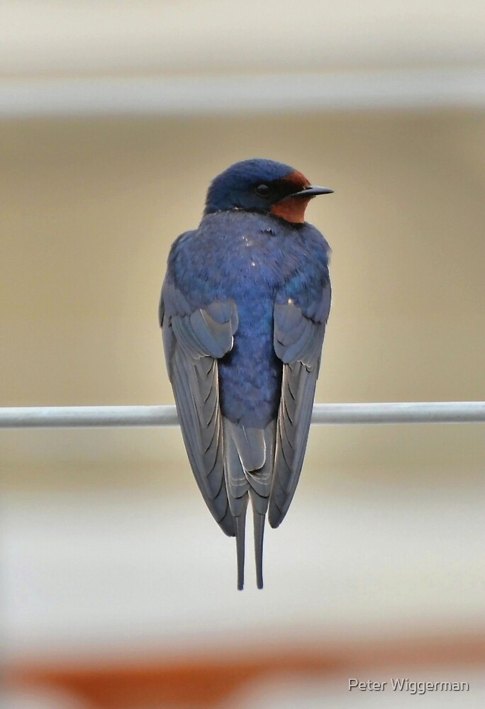 Barn swallow by Peter Wiggerman