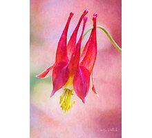 Queen Columbine Photographic Print