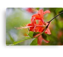 Native Flame Azalea Canvas Print