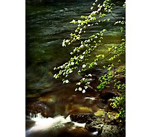 Dogwoods overhanging the Merced River Photographic Print