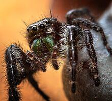 Jumping Spider by Karri Klawiter