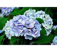 Lavender Hydrangea Photographic Print
