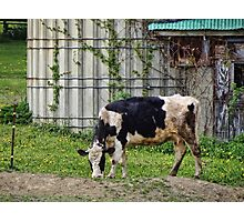 A beautiful bovine Photographic Print