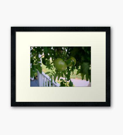Green Tomatoes     ^ Framed Print