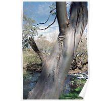 A Gum tree by the river Poster