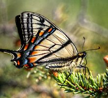 Canadian Tiger Swallowtail by EelhsaM