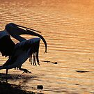 the thief! - the pelican stole the fish by gaylene