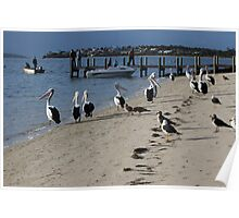 """pelicans waiting for a feed of fish """"guts"""" Poster"""