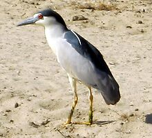 Black Crowned Night Heron by Chris Gudger