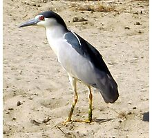 Black Crowned Night Heron Photographic Print