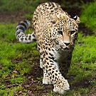 Persian Leopard by Sandra Chung