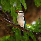 Woodland  Kingfisher  (         ) - Terangeri NP Tanzania by john  Lenagan