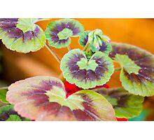 Geraniums Photographic Print