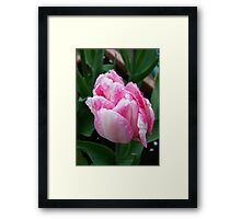 Two Tone Pink Tulip Framed Print