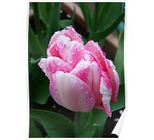 Two Tone Pink Tulip Poster