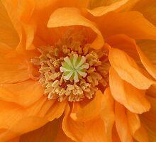 Orange Poppy by Jennifer J Watson