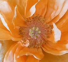 Orange Poppy Fading by Jennifer J Watson