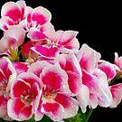 1613-beauty geranium by elvira1