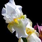 1619-white iris by elvira1